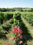 Environ 7 hectares de vignes en AOC Saint-Emilion Grand