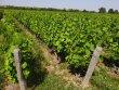 Vignes AOP Saint Amour